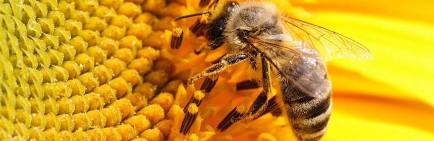 Лечение пчелиным ядом. Апитерапия